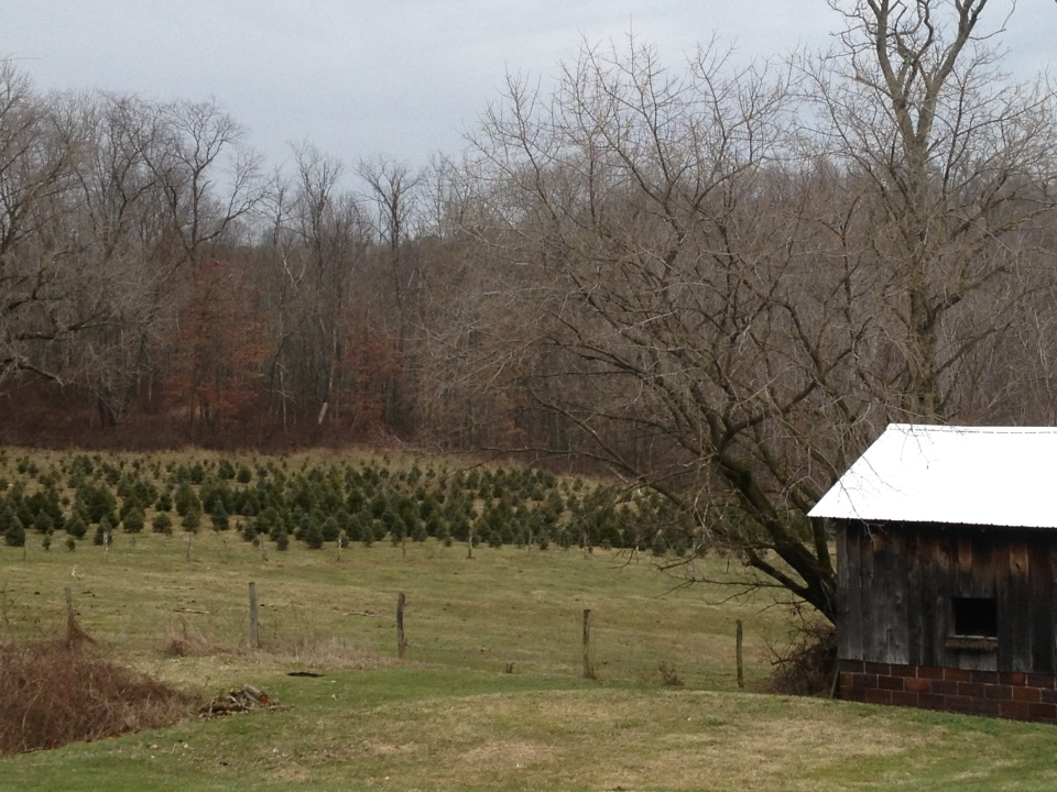 Christmas trees grown by John's son-in-law on his farm
